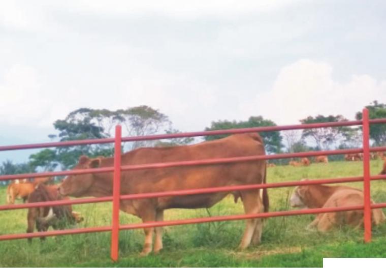 Ternak sapi di hamparan padang rumput BPTU HPT Padang Mengatas, Kabupaten Limapuluh Kota, Sumatera Barat. ERZ
