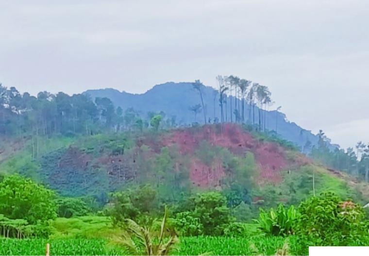 Salah satu bukit yang pohon pinusnya banyak ditebangi di Nagari Sikabu-kabu Tanjung Haro Padang Panjang (Sitapa), Kecamatan Luak, Kabupaten Limapuluh Kota. PR