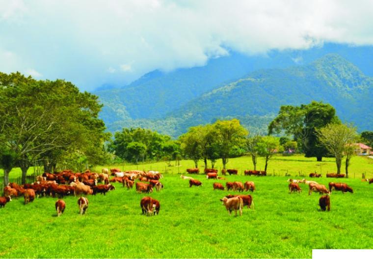 Sapi di hamparan pada rumput Balai Pembibitan Ternak Unggul Hijauan Pakan Ternak (BPTU-HPT) Padang Mengatas, Kabupaten Limapuluh Kota, Sumatera Barat. IST
