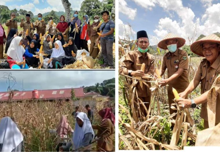 Panen jagung SMA INS Kayu Tanam, Kabupaten Padang Pariaman, Provinsi Sumatera Barat, Senin (04/10/2021). IST