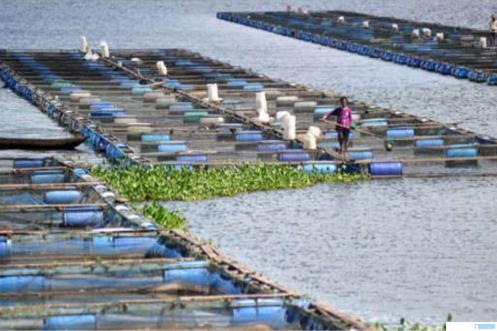 Keramba Jala Apung (KJA) ikan nila di Danau Maninjau, Kabupaten Agam. Jumlah KJA belasan ribu, sehingga Danau Maninjau kehilangan keseimbangan. Pemerintah akan merevitalisasi danau yang indah ini, sehingga fungsi kepawisataannya dapat kembali lagi, dan keberadaan KJA juga tetap dapat menggerakkan perekonomian masyarakat. NET