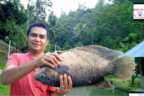 Direktur PT. Raja Place, Armendo dengan ikan gurame sago. KKP RI telah menetapkan ikan gurame sago sebagai bibit unggul asli Kabupaten Limapuluh Kota. DOK RAJA PLACE