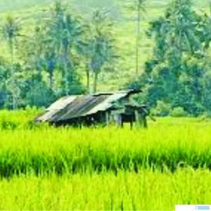 Ilustrasi sawah di Lintau Buo, Kabupaten Tanah Datar. NET