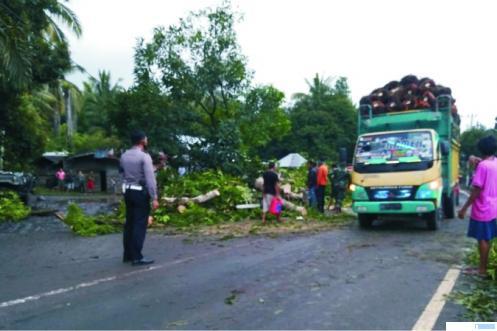 Sebatang pohon mangga berukuran cukup besar tumbang ke jalan di jalur lintas utama Padang - Pasaman Barat (Pasbar), tepatnya di Padang Bintungan, Jorong Kapundung, Kecamatan Kinali, Rabu, (31/3/ 2021) sore, sehingga menyebabkan kemacetan panjang. RIZAL