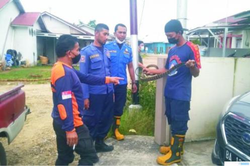 Petugas Damkar Kota Payakumbuh mengevakuasi ular jenis king koros dari pemukiman warga. KOMINFO PYK