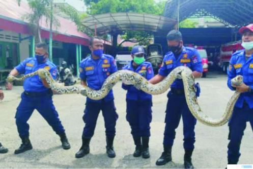 Petugas Damkar Pemko Padang dengan ular piton sepanjang enam meter lebih yang dievakuasi dari rumah warga di kawasan Parah Laweh, Lubuk Begalung Kota Padang, Senin (15/03/2021). PATRONNEWS