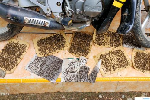 Lalat yang terperangkap kertas lem di salah satu rumah warga Jorong Tanjung Barulak Nagari Kubang, Kabupaten Limapuluh Kota. Kasus jutaan lalat yang berasaL dari kandang ayam pedaging di jorong ini membuat warga merasa tidak nyaman dan kesehatan mereka terancam. IST